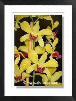 orquideas, amarillas, rojas