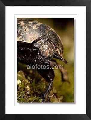 escarabajo, animal