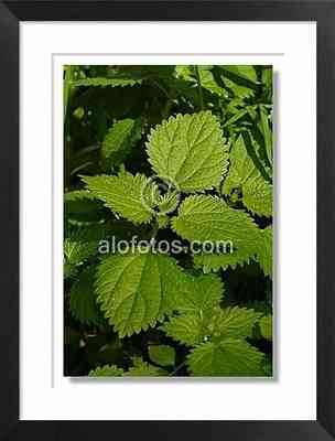 ortiga, planta silvestre irritante - planta silvestre