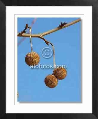 Frutos, Platanus orientalis