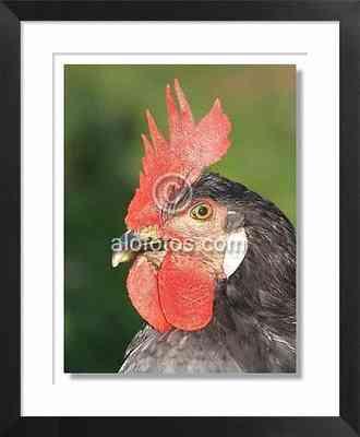 animales de la granja, gallo