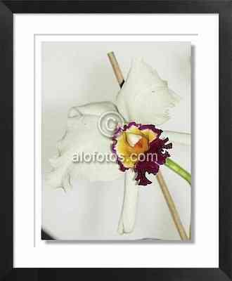 orquidea blanca cultivada