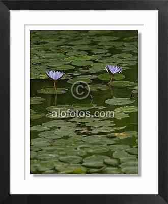 flor de loto, Nymphaea caerulea
