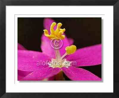 flores silvestres, centáurea menor