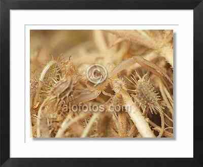 Araña cangrejo, ejemplo de mimetismo críptico