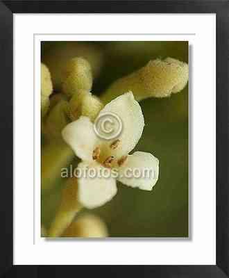 flor blanca, torvisco