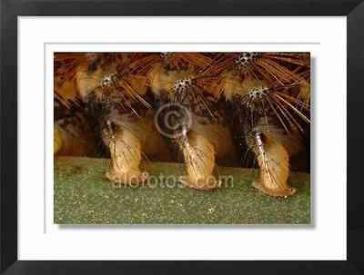falsos pies de la oruga Lasiocampa trifolii