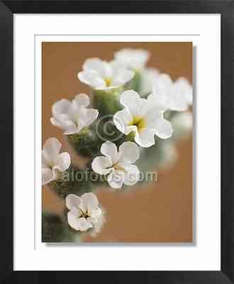 Flores silvestres blancas, malas hierbas