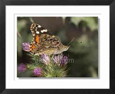 Mariposa sobre un cardo