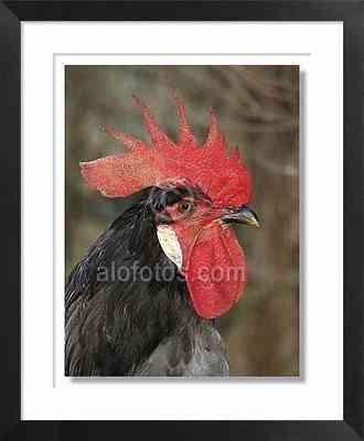 gallo, animales de la granja