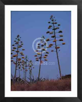 flora iberica, fotos de pitacos, pitas