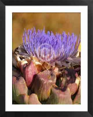 flores ibéricas, fotos de cardo