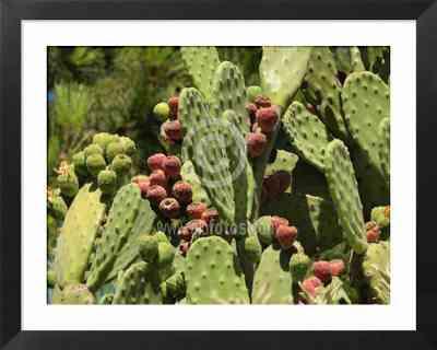 cactus, fotos de cactaceas, chumberas