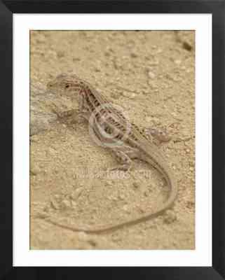 lagartija, reptil