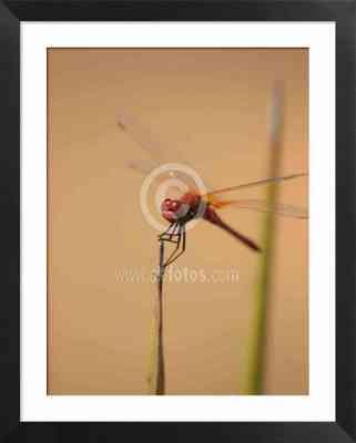 libélula, odonato, imágenes de libélulas