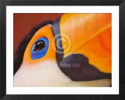 Tucán, fotos de aves de América
