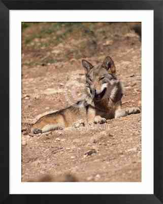lobo ibérico, animales, fotos de mamíferos