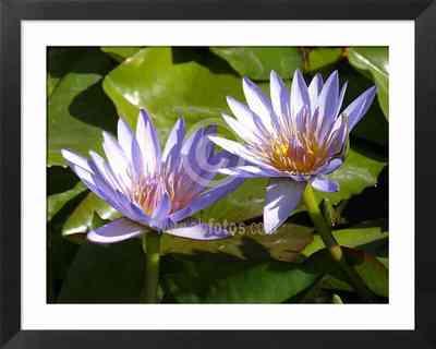 flores de loto azul
