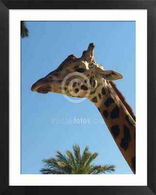 animales salvajes, foto de jirafa