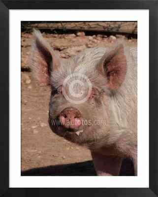 cerdo, fotos de animales domésticos