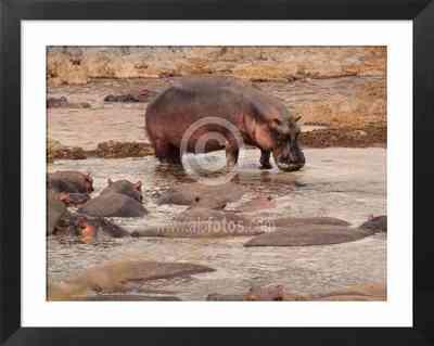 Animales salvajes de Africa, foto de hipopótamos en una charca