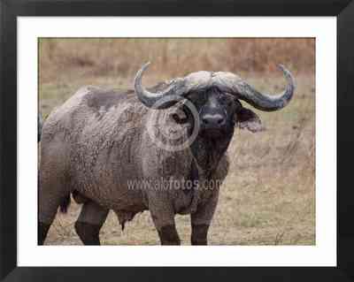 Animales de Tanzania, Africa. Búfalo