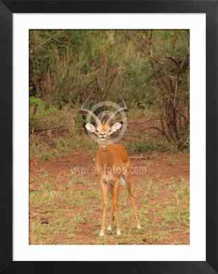 Animales de Tanzania, foto de impala