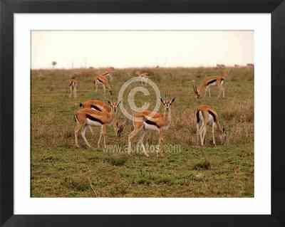 paisajes de Africa, fotos de gacelas