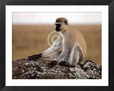 Animales de Africa. Serengeti, Tanzania, fotos de primates