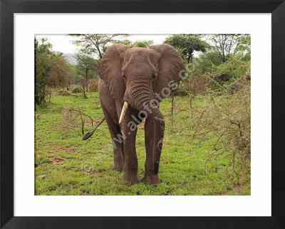 fauna de Africa, fotos de elefantes africanos