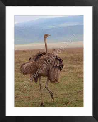 Aves de Africa, foto de avestruz