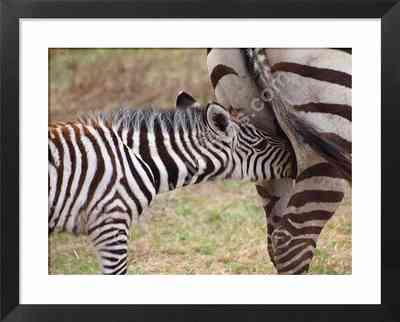 fauna africana, fotos de cebras
