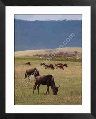 Ñus, fauna de Tanzania