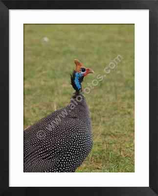 Aves de Africa, fotos de gallina de Guinea