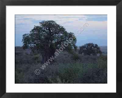 baobabs, fotos de paisajes de Africa