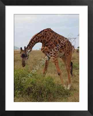 jirafa, fotos de fauna salvaje de Africa