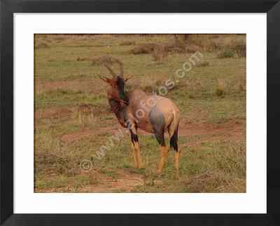 animales vertebrados de Africa, foto de un Topi