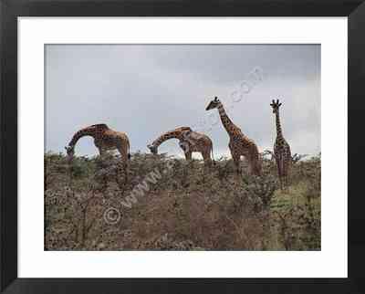 jirafas, safaris en Africa, fotos de herbívoros