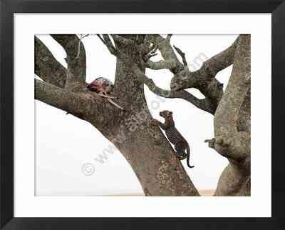 leopardo joven, crias de animales salvajes, fotos de leopardos