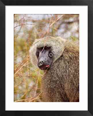 Animales peligrosos: babuino