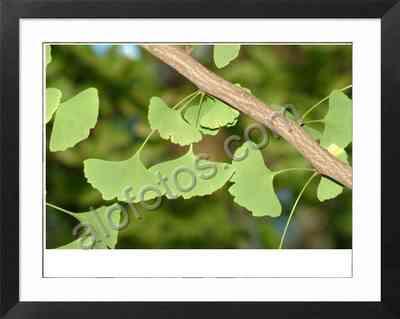 el arbol Ginkgo biloba