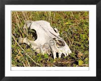 cráneo de perro doméstico