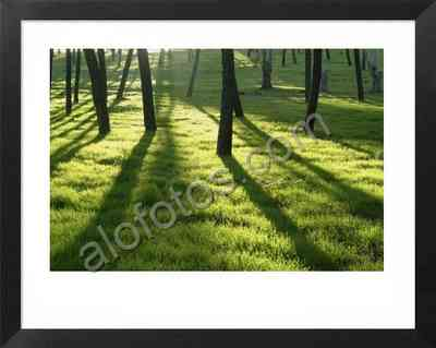 Bosque de árboles con pinos piñoneros. Ecosistema mediterráneo. Fotos a contraluz