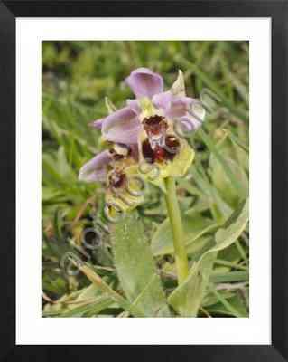 Orquídeas silvestres mediterráneas. Foto Ophrys tenthredinifera