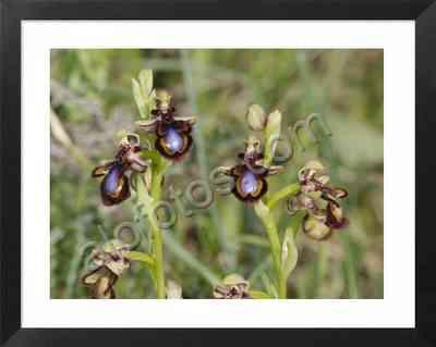 Orquídeas mediterráneas silvestres, espejo de venus