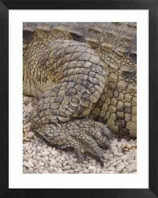 pata trasera de cocodrilo del Nilo. Fotos de reptiles