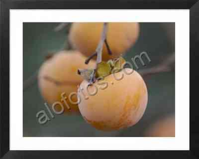 árboles frutales, frutos del caqui, frutas comestibles