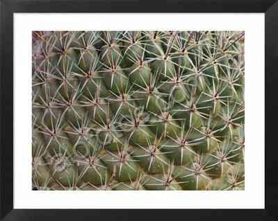 Thelocactus conothelos, taxtura natural en un cactus, geometría natural