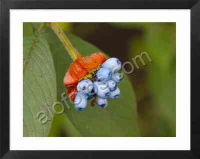 Costa Rica es una de las cunas de biodiversidad. Frutos azules de  Psychotria elata