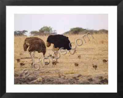 los avestruces son uno de los representantes más característicos de la fauna africana